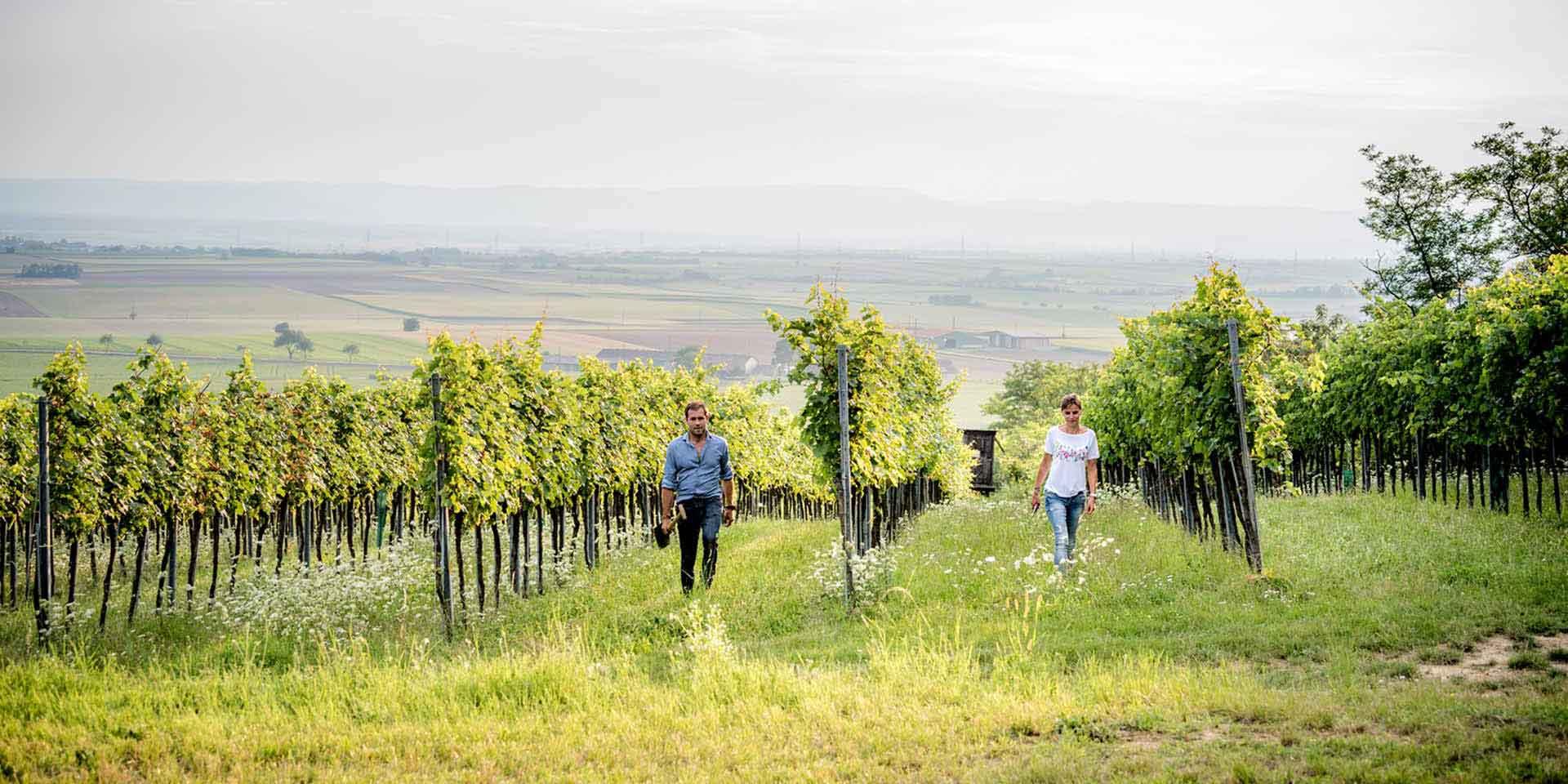 Der Grüne Veltliner reift am Wagram zu herzhaft würzigen Tropfen heran. Er führt das Sortiment der Weißweine an, die Substanz und Trinkvergnügen vereinen. Auch einige der gehaltvollsten Rotweine Niederösterreichs trifft man hier.